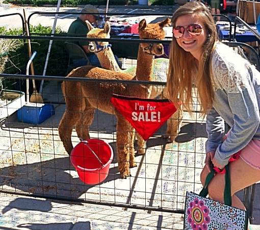 alpaca for sale--journey for jessi